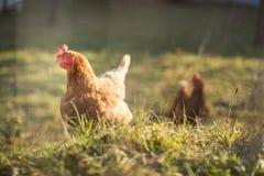 Hen in a farmyard. (Gallus gallus domesticus Stock Photography