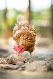Hen in a farmyard. (Gallus gallus domesticus Royalty Free Stock Photos
