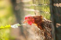 Hen in a farmyard. (Gallus gallus domesticus Royalty Free Stock Photo