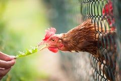 Hen in a farmyard. (Gallus gallus domesticus Royalty Free Stock Image