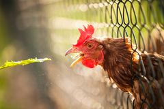 Hen in a farmyard Royalty Free Stock Photography
