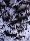 Hen feather Stock Image