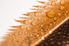 Hen feather with water drops Stock Photography