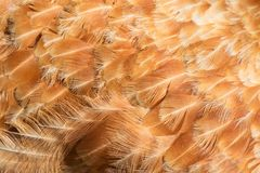 Hen feathers detail Stock Photos