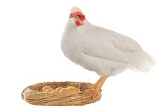 Hen Stock Photos