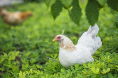 Hen finding food Royalty Free Stock Photo