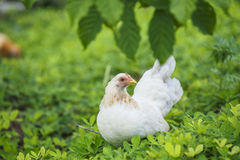 Hen finding food Royalty Free Stock Image