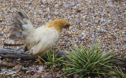 Hen finding food Stock Photos