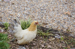 Hen finding food Stock Photography