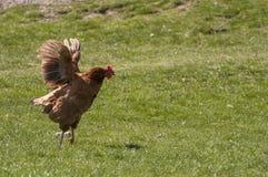 Hen flying Stock Photo