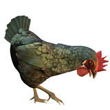 Hen on fodder-searches. 3d rendering of a chicken on fodder search as illustration Stock Photo