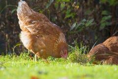 A hen - free breeding Royalty Free Stock Photography