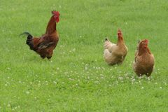 Hen free range Stock Photos