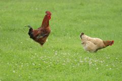 Hen free range Royalty Free Stock Photos
