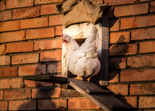 Hen in front of stable with human shadow. Hen in front of stable in red brick wall, hen Stock Photos