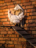 Hen in front of stable. In red brick wall Stock Image