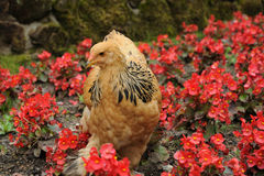 Hen in garden Royalty Free Stock Photos