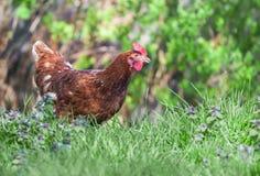 Hen in the garden Stock Photos
