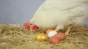 Hen with gold egg stock footage