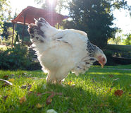 Hen on grass Royalty Free Stock Photo