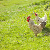 Hen on grass field Stock Photos