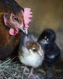 A hen is guarding her newly born chickens Royalty Free Stock Photos
