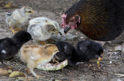 A hen is guarding her newly born chickens Royalty Free Stock Photography