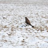 Hen harrier Royalty Free Stock Photography