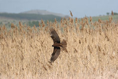Hen Harrier Photographie stock