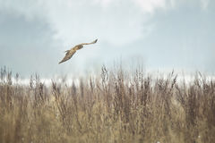 Hen harrier Circus cyaneus hunting Royalty Free Stock Photography