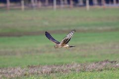 Hen harrier hunting stock images