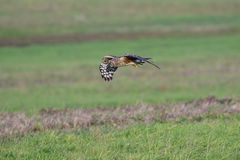 Hen harrier hunting stock photo