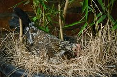 Hen hatching eggs in a nest. Chicken hatching eggs in the bush among the dry grass, chicken hen close-up royalty free stock photo