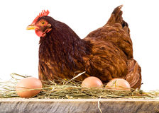 Hen in hay with eggs isolated on white Royalty Free Stock Photos