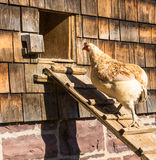 Hen heading for home Royalty Free Stock Image
