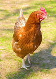 Hen on henyard Stock Images