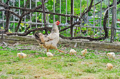 Hen with her chicks Stock Photography