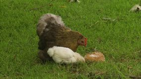 A hen with her chicks. A close up shot of a hen with her two chicks. The three are eating on the grass stock video footage
