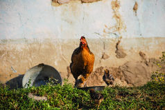 A hen with her chicks, Zululand Royalty Free Stock Photo