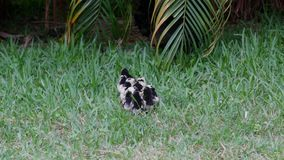 Hen and her ten chicks stock video footage