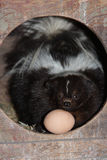 In the hen house!. Skunk with egg in hen hosue Royalty Free Stock Photography