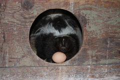 In the hen house!. Skunk with egg in hen hosue Stock Photography