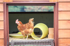 A hen in house Stock Image