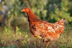 Hen In Farm Stock Photo