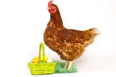 Hen In Studio Royalty Free Stock Image
