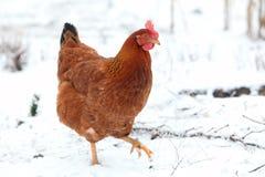 Hen In Winter Stock Photo
