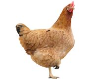 Hen isolated royalty free stock image