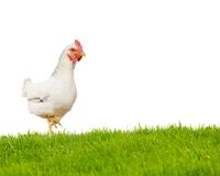 Hen isolated. Photo of hen on grass field isolated on white Royalty Free Stock Images