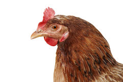 Hen isolated. Portrait of old brown hen isolated with white background Royalty Free Stock Image