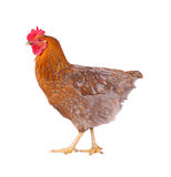 Hen isolated on white. Brown hen isolated on white, studio shot Stock Photo